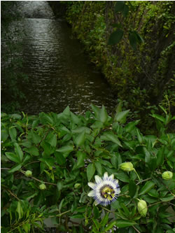 時計草 白川疎水